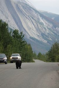 black bear maligne lack road