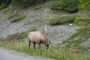 male elk town of jasper