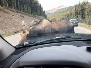 Moose Maligne Lake Road 2019