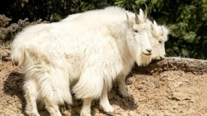 mountain goat jasper