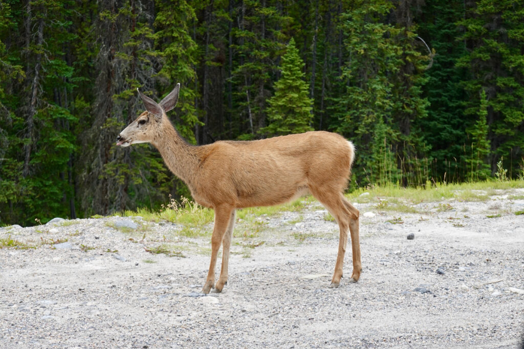 maligne lake road deer