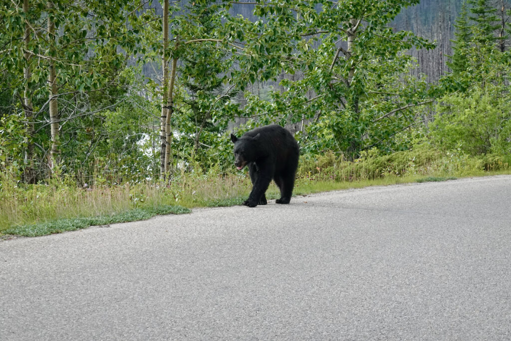 maligne lake road black bear
