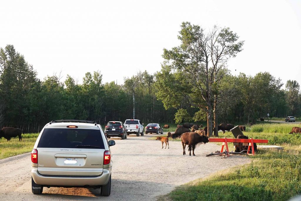 bison loop road lineup