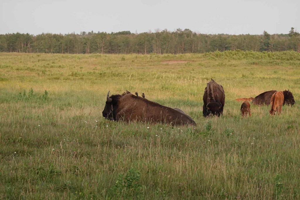 bison loop road birds on back