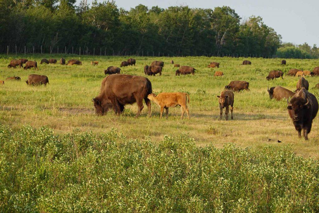 bison loop road herd
